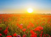 Sunrise over a red poppy field — Stock Photo