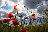 Red poppy in a rays of sun — Stock Photo