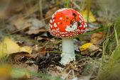 Closeup red flyagaric mushroom — Stock Photo