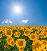 Sunflower field by a sunny day — Stock Photo
