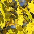 Stock Video: Yellow maple leaves