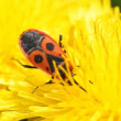 Firebug on a dandelion — Stock Video