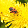 Stock Video: Firebug, Pyrrhocoris apterus