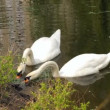 Pair white swans - Stock Photo