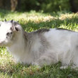 Young goat resting on the grass - Stock Photo