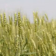 Unripe wheat — Stock Video #12819886