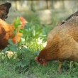 Chickens on the grass — Stock Video