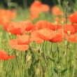 Beautiful red poppies — Stock Video #12819934