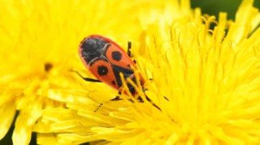 Firebug on a dandelion — Stock Video