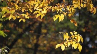 Autumn ash tree — Stock Video