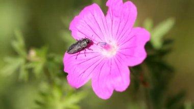 Geranium and bug — Stock Video #12818919