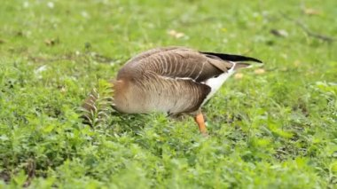 Goose on the green grass — Stock Video