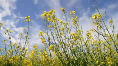 Rapeseed flowers — Stock Video