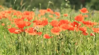 Beautiful red poppies — Stock Video