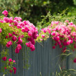 Stock Photo: Pink roses on fence