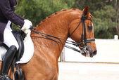 Cavalo adestrado — Foto Stock