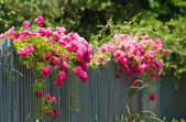 Pink roses on the fence — Stock Photo