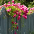 Pink roses on the wooden fence — Stock Photo