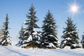 Fir trees on winter — Stock Photo