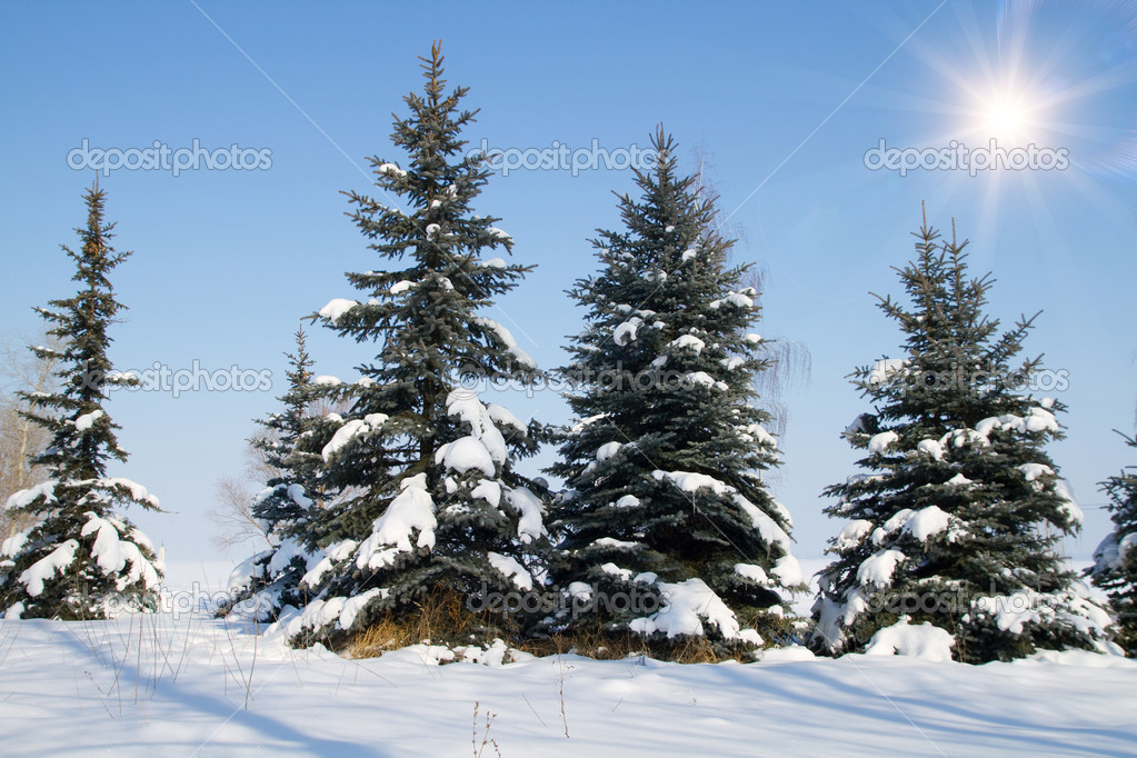 Fir trees in winter snow  — Stock Photo #14338465