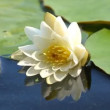 Stock Video: Water lilly