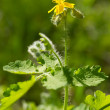 Blossoming flower of celandine - Stock Photo