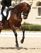 Cheval de dressage — Photo