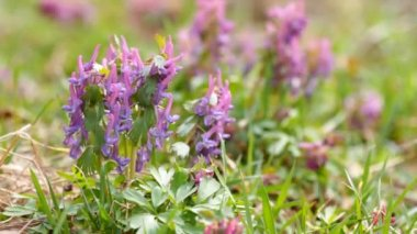 Corydalis spring flowers — Stock Video