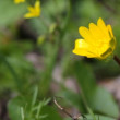 Stock Video: Yellow buttercup