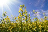 Flores de colza amarelo — Foto Stock