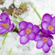 Stock Photo: Spring crocuses