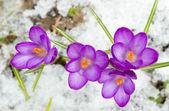 Bahar çiğdemler — Stok fotoğraf