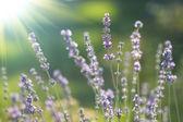 Beautiful lavenders — Stock Photo