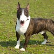 English bull terrier portrait - Stock Photo