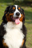 Berner Sennenhund — Stock Photo