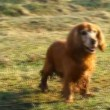 English cocker spaniel  — Stock Video