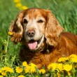 English cocker Spaniel - Foto Stock