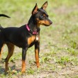 Stock Photo: Prague Ratter(Prazsky krysarik)