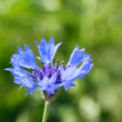 Blue cornflower — Stock Video