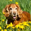 English cocker Spaniel — Stock Photo #25790007