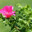 Wild rose flower — Stock Video
