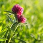 Flower clovers — Stock Photo