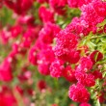 Pink rose bush — Stock Photo