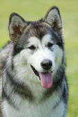Portrait husky — Stock Photo
