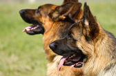 German Shepherd Dogs — Stock Photo
