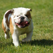 English bulldog — Stock Photo #27482835