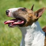 Bull terrier on grass — Stock Photo