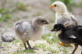 Baby chicks — Stock Photo