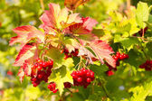 Red Viburnum berries in autumn — Stock Photo