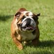 English bulldog running — Stock Photo